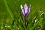 afrn blokvt (Crocus albiflorus)