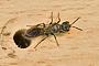 Samotářské vosy a včely