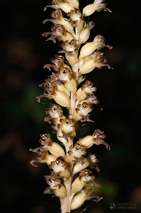 Hlístník hnízdák (Neottia nidus-avis)