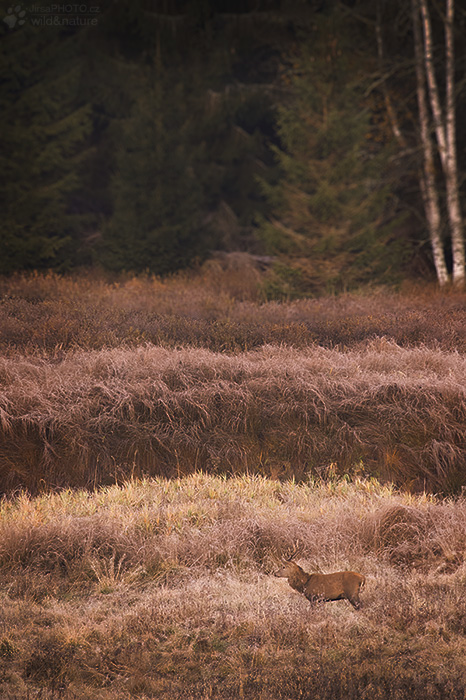 Jelen lesní (Cervus elaphus)