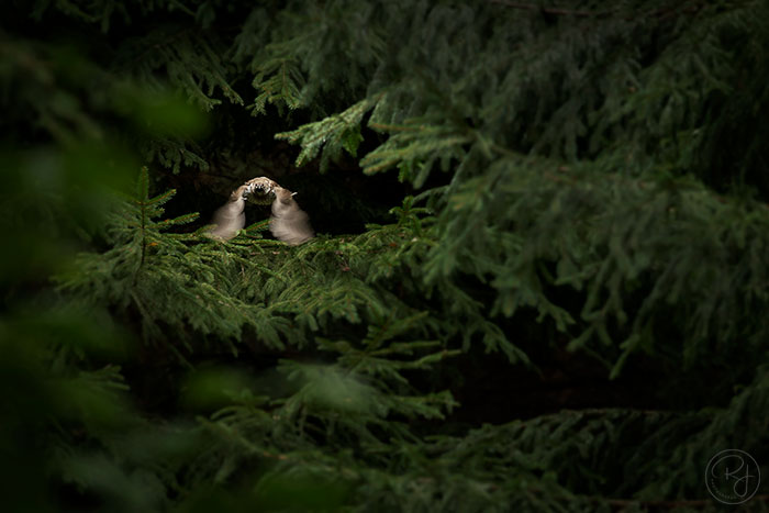 Jeřábek lesní (Bonasa bonasia)