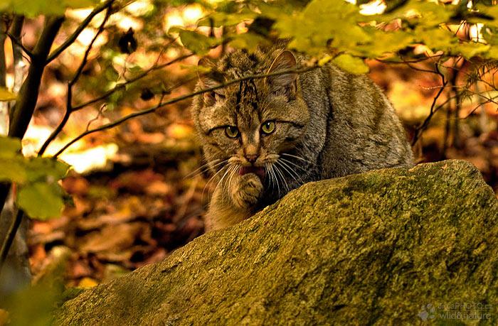 Kočka divoká (Felix silvestris)