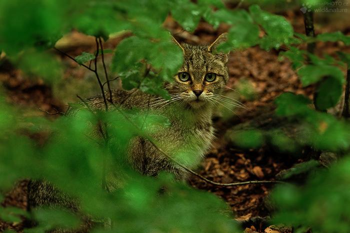 Kočka divoká (Felis silvestris)