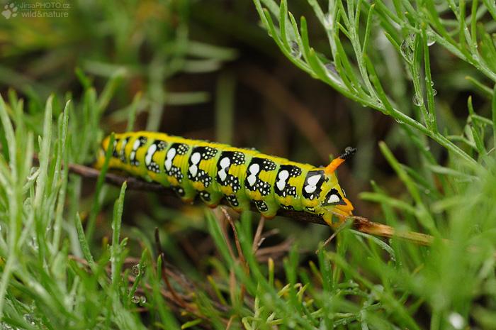 Lišaj pryšcový (Hyles euphorbiae)
