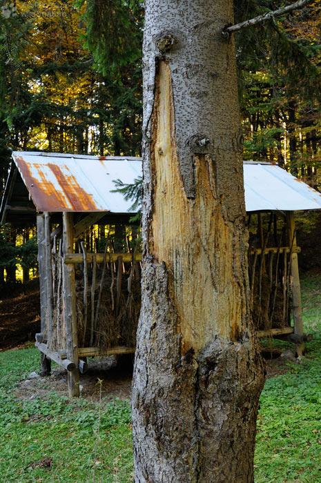 Medvědí strom