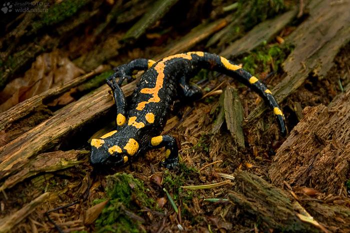 Mlok skvrnitý (Salamandra salamandra)