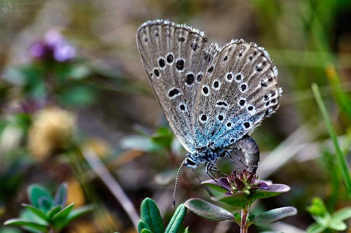 Modrásek černoskvrnný (Phengaris arion)