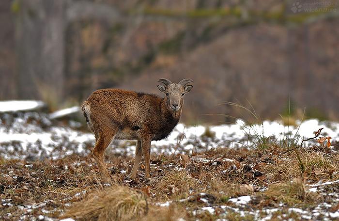 Ovce kruhorohá - muflon (Ovis orientalis)