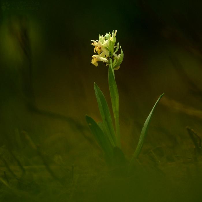 Prstnatec bezový (Dactylorhiza sambucina)