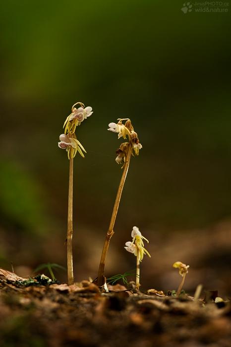 Sklenobýl bezlistý (Epipogium aphyllum)