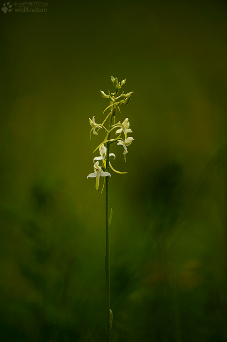 Vemeník dvoulistý (Platanthera bifolia)