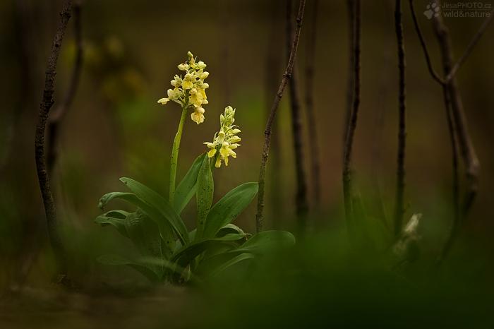 Vstavač bledý (Orchis pallens)