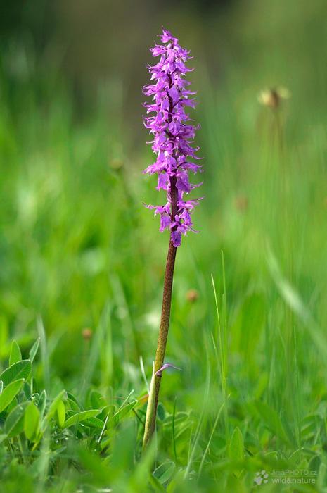 Vstavač mužský (Orchis mascula)